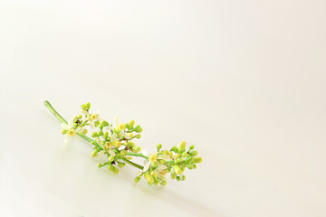 Neem flowers were placed on white background.