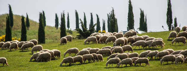 Fond de hotte en verre imprimé Sheep Tuscan sheep
