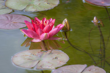 Red waterlily flower on a lake.