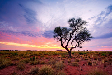 A Hakea tree stands alone in the Australian outback during sunset. Pilbara region, Western Australia, Australia.