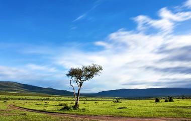 Acacia tree under blue sky in the african savannah