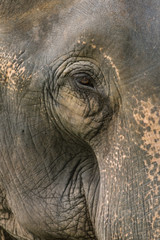 A close up photo of a elephants eye, eyelashes, wrinkles and face. Taken in Jaldapara National Park in North East India