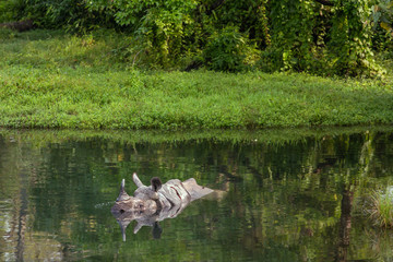 Wild rhino bathing in the river in Jaldapara National Park, Assam state, North East India