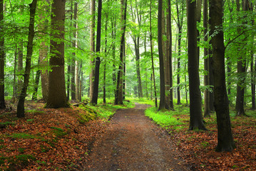 Poster de jardin Foret A path through green beech forest with mist, Herford, Germany