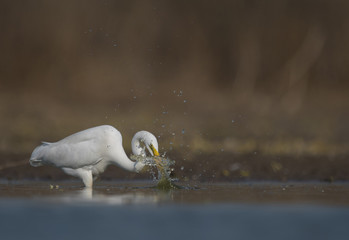 The Great White Egret Fishing