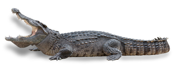 Photo sur Aluminium Crocodile Crocodile with open mouth isolated on white background with clipping path