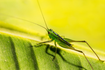 Green grasshopper on banana leaf