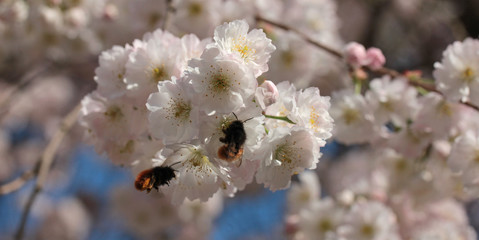Busy bees on cherry tree