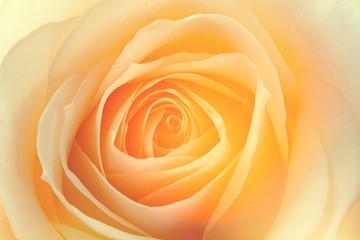 macro de una rosa amarilla