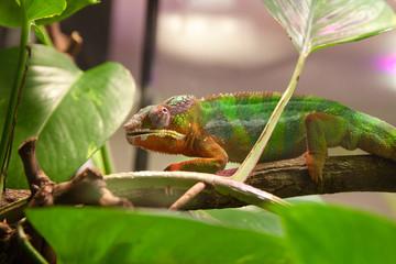 хамелеон ползет по ветке в террариуме