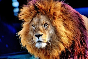 Lion animal carnivore king