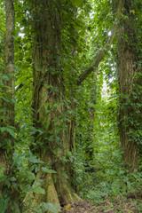 Manoa Rainforest, Oahu, Hawaii.