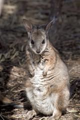a tammar wallaby