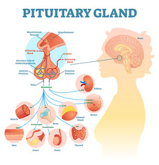 Pituitary gland anatomical vector illustration diagram, educational medical scheme