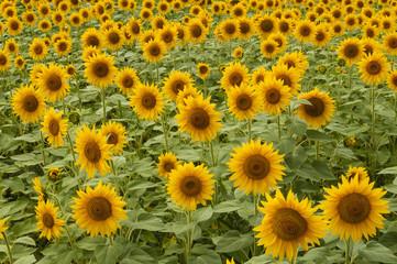 Ripe Sunflower Flowers