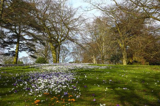 Spring crocus flowers in bloom at Roundhay Park Leeds UK