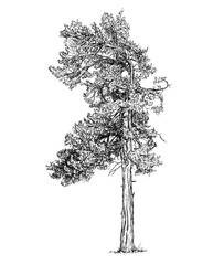 Cartoon vector doodle drawing illustration of old pine conifer or coniferous tree.