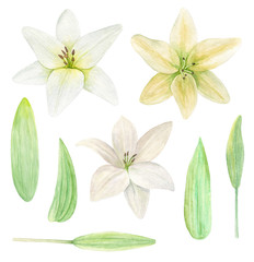 Lily flower watercolor clipart. Botanical clip art
