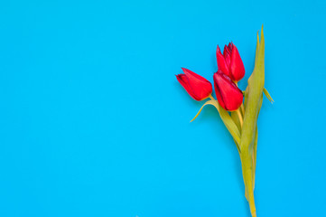 Red tulip flowers on turquoise background. Flat-lay. Negative space.