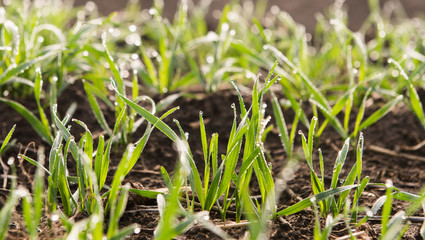 Young wheat seedlings growing