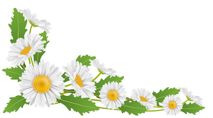 Corner decoration with white daisy flower and green leaf for horizontal banner. Vector illustration for spring and nature design, isolated on white