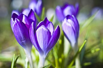 Krokuswiese im Frühling