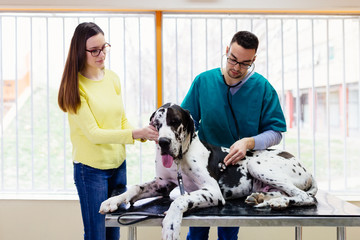 Owner with her Great dane at veterinary.