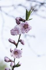 peach blossom as background