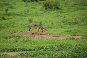 Jackal wild dangerous mammal africa savannah Kenya