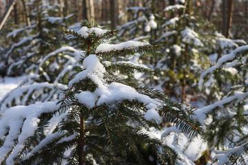 Fir in forest with snow