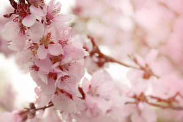 Branch of a blossoming apricot tree. Spring flowers background