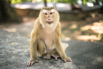 Monkey in the park. Thailand, Phuket, Monkey hill.