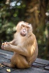 Fluffy monkey eats longan and looks in the camera. Thailand, Phuket, Monkey Hill