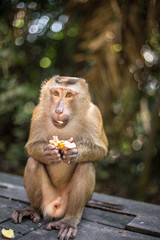 Cute monkey eats longan and looks in the camera. Thailand, Phuket, Monkey Hill