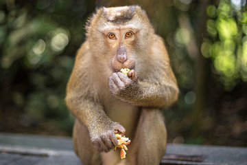 Cute monkey eats fruit in the park. Thailand, Phuket, Monkey Hill