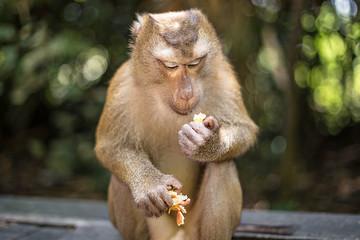 Cute monkey is eating fruit. Thailand, Phuket, Monkey Hill