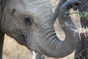 elefante fauna natura animale africa