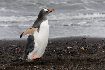 Gentoo penguin going