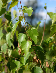 Leaves of a birch tree at summer.