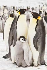 Emperor penguins(aptenodytes forsteri)with Chicks, in a colony on the sea ice of Davis sea,Antarctica