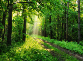 spring forest. a misty morning in a picturesque forest. Sun rays