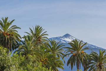 Horizontal landscape image of a snow capped mountain with a palm tree in the foreground. Date palm, Spain