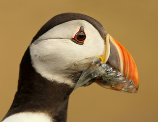 Close up of an Atlantic puffin with mouth full of sand eels