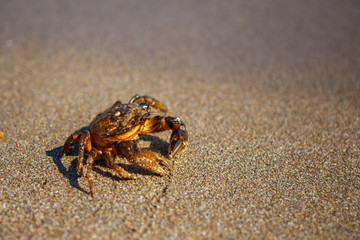 crab on the sand, the crab is on the beach, in the sea water