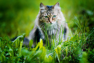 Gray fluffy cat on a background of green grass. A homeless animal. tramp