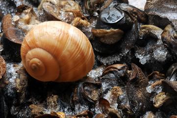 Ốc Schneck Chiocciola Escargot Caracol Snail Улитка  カタツムリ жизненная حيوان форма frost حلزون Salyangoz Melc Sraigė moliuskas