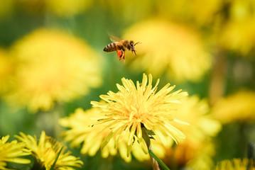 Biene fliegt über Löwenzahnblüte