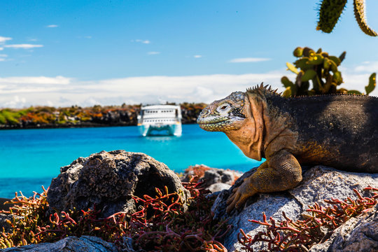 land iguana with a white boat in the background, South Plaza Island