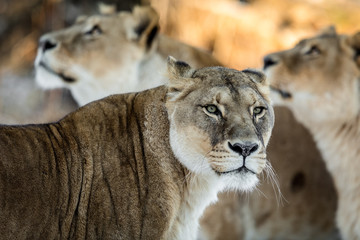 Female lion, Panthera leo, lionesse portrait, with two unfocused female lions in the background