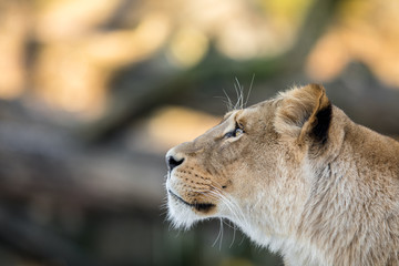 Female lion, Panthera leo, lionesse portrait, head profile on soft background, looking to the left, with space for text on left side